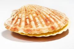 Bello Seashell isolato su priorità bassa bianca Immagini Stock