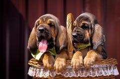 Bello segugio dei cuccioli che si siede in un canestro Immagine Stock Libera da Diritti