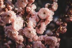 Bello selvaggio ? aumentato Fiori rosa, fine su Pianta di giardino Cespuglio del fiore fotografia stock