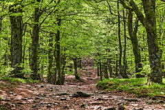 Sentiero per pedoni in una bella foresta verde Fotografia Stock