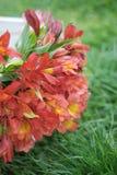Bello sfondo naturale arancio rosso di Alstromeria Lily Flower Bouquet Green Grass modificato ora legale della molla Fotografia Stock