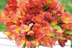 Bello sfondo naturale arancio rosso di Alstromeria Lily Flower Bouquet Green Grass modificato ora legale della molla Fotografia Stock Libera da Diritti