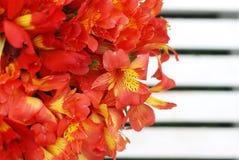 Bello sfondo naturale arancio rosso di Alstromeria Lily Flower Bouquet Green Grass modificato ora legale della molla Fotografie Stock Libere da Diritti