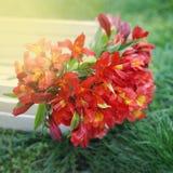 Bello sfondo naturale arancio rosso di Alstromeria Lily Flower Bouquet Green Grass modificato ora legale della molla Immagine qua Immagini Stock