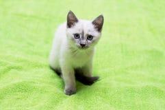 Bello sguardo del gattino tailandese su un fondo verde Fotografie Stock