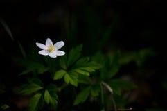 Bello singolo fiore bianco Immagine Stock