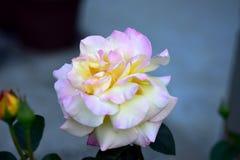 Bello singolo fiore della rosa di bianco in fioritura Fotografia Stock
