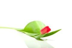 Bello singolo tulipano rosso Fotografia Stock