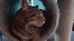 Bello sonno del gatto Immagine Stock