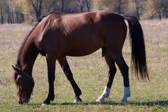 Bello stallion Immagini Stock
