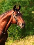 Bello stallion del trakehner Immagine Stock