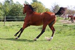 Bello stallone arabo che galoppa sul pascolo di estate Fotografie Stock Libere da Diritti