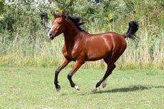 Bello stallone arabo che galoppa sul pascolo di estate Fotografie Stock