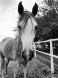 Bello stallone arabo fotografie stock libere da diritti