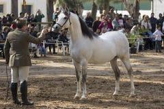 Bello stallone arabo a Jerez fotografie stock