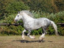 Bello stallone del cavallo da tiro di Shire Fotografie Stock