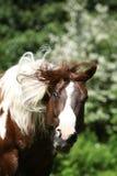 Bello stallone del cavallo della pittura che scuote con la testa Fotografia Stock Libera da Diritti