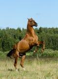 Bello stallone di razza che si eleva sulla libertà Fotografia Stock Libera da Diritti