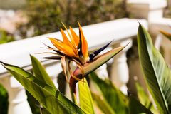 Bello strelitzia reginae del fiore nel giardino landscaping fotografia stock