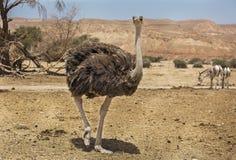 Bello struzzo nel deserto Fotografie Stock
