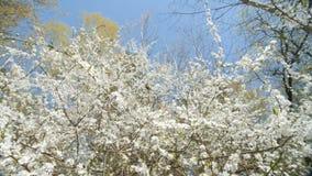 Bello susino di fioritura contro cielo blu archivi video