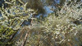 Bello susino di fioritura contro cielo blu video d archivio