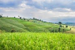 Bello terrazzo verde del giacimento del riso con la nuvola e la montagna di pioggia Fotografie Stock Libere da Diritti