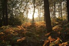 bello terreno boscoso di sera dell'Inghilterra Fotografie Stock Libere da Diritti
