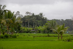 Bello terreno coltivabile del riso su Bali, Indonesia Immagini Stock
