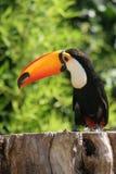 Bello toucan Fotografia Stock Libera da Diritti