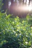 Bello tramonto nella pianta del mirtillo della foresta della Lituania Fotografie Stock