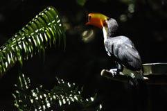 Bello tucano variopinto di toco in zoo immagine stock
