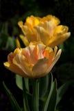 Bello tulip-25 Immagine Stock Libera da Diritti