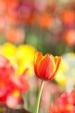 Bello tulipano Immagini Stock Libere da Diritti