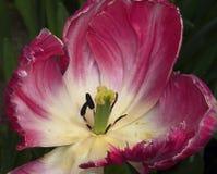 Bello tulipano Fotografia Stock Libera da Diritti