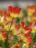 Bello tulipano di colore rosso del fiore Immagine Stock Libera da Diritti