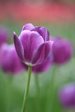 Bello tulipano di porpora del fiore Fotografia Stock