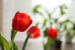 Bello tulipano e vista vaga della finestra con i ciechi su fondo immagini stock