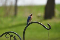 Bello uccellino azzurro maschio Fotografia Stock