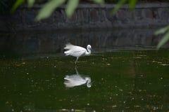 Bello uccello bianco Fotografia Stock Libera da Diritti