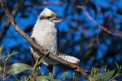 Bello uccello bianco australiano - kookaburra fotografia stock libera da diritti