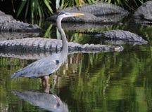 Bello uccello blu dell'airone in Florida Fotografia Stock Libera da Diritti