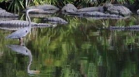 Bello uccello blu dell'airone in Florida Fotografie Stock Libere da Diritti