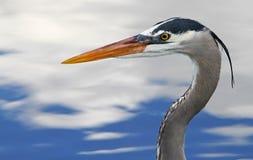 Bello uccello blu dell'airone in Florida Fotografia Stock