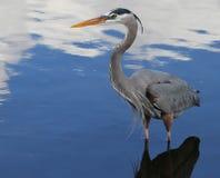 Bello uccello blu dell'airone in Florida Immagine Stock