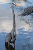 Bello uccello blu dell'airone in Florida Immagini Stock