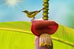 Bello uccello che si appollaia sul fiore della banana nel giorno soleggiato con raggio di sole Fotografie Stock