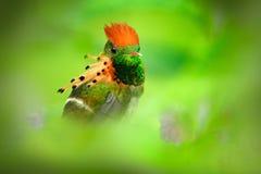 Bello uccello Civetta trapuntata, colibrì colourful con la cresta arancio e collare nell'uccello verde e viola dell'habitat del f Immagini Stock