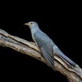 Bello uccello, cuculo himalayano Fotografia Stock