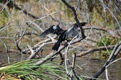 Bello uccello del anhinga Immagini Stock